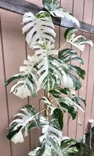 Monstera deliciosa albo variegata 'Borgsiana' Highly Prized *lots of roots*