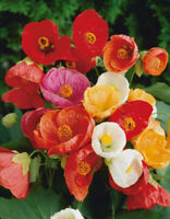Abutilon Flowering Maple , Bellvue Mix - 50 Seeds #3250