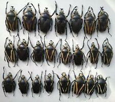 Dicronorhina derbyana conradsi 23 pcs Cetoniinae Goliathus Dicronorrhina A1/A-