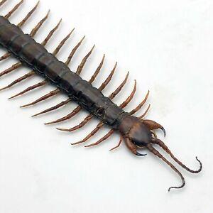 Large Centipede 16CM (Scolopendra morsitan) Insect Collector Specimen Indonesian
