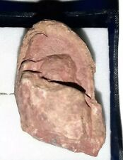 Triassic Dinosaur Coprolite Fossil.