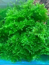 Christmas (Xmas) Moss - Aquarium Plant - 3 Golf Ball Size