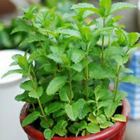 New 500pcs Spearmint Mint Mentha Herb Green Flower Seeds Home Hot Sale Nice