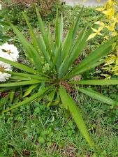"Yucca Plant, one large 18"" Or Taller yucca plant. Hearty and healthy."