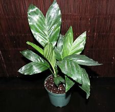 "New Item~Metallica Live Palm Tree EXCELLENT Indoors VERY Cold Hardy 5.5"" Pot"