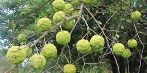 15+ Osage Orange (Maclura Pomifera) Tree Seeds! Fruit Tree Seeds. Rare Seeds!