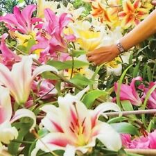 6 Giant Tree Like Lily Mixed Bulb Large Flower Fragrant Summer Garden Plant Corm