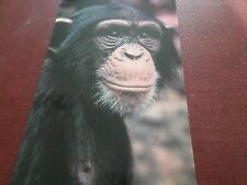 Postcard Chimpanzee Regent`s Park Zoo London