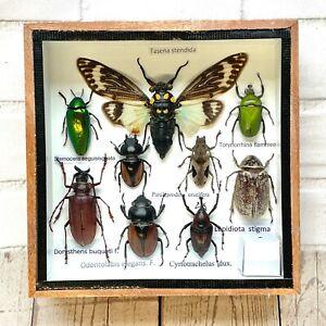 Insect Display Box Tarantula Spider Scorpion Beetle Bug Taxidermy Wood Case SS