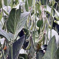 SOYA BEAN PLANT SEEDS GLYCINE MAX HARDY TOFU MEAT ALTERNATIVE BULK 100 SEED PACK
