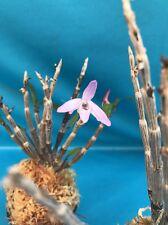Dendrobium moniliforme Fragrant Species Orchid Bloom Size Pink Flowers