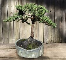 Juniper Bonsai Tree in beautiful handmade green/blue ceramic pot.