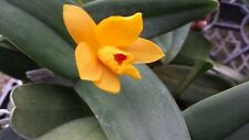 Orchid Cattleya Rth Sinafona Little Sun Young x Min Golden Boy Tropical Plant
