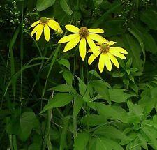 PLANT~Rudbeckia laciniata Cutleaf Sunflower~GALLON POT