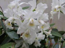 Cattleya C.Arctic Star `Snow Queen' New lead In Sheath tall growing Mericlone