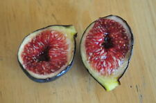 Rare figs trees * Ficus carica Black Madeira -Portuguese Figs * 35 fresh seeds