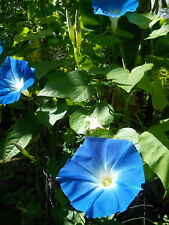 Ipomoea tricolor-'Heavenly Blue'-morning glory seeds