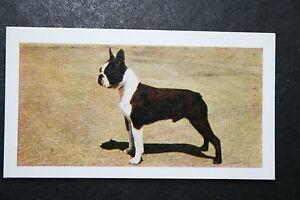 Boston Terrier   Vintage Colour Photo Card