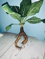 Mandrake | Mandragora (Med/Large) 'Walking Home' Whole Root. Alter/Wicca/Wiccan