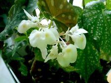 Bouture Cutting BEGONIA Maculata var. wightii   Floraison blanche