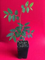 """Katuk Variegated Sauropus Androgynus Star Gooseberry Sweet Leaf Bush Plant 4-10"""""""