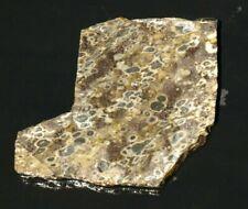 Turritella fossil slab 2 oz