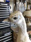 White Peacock  Taxidermy Bird Mount For Sale (RARE)