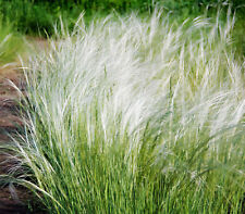 Mexican Feather Grass 153 Seeds Stipa Tenuissma, Hardy, Ornamental Grass Usa Sel