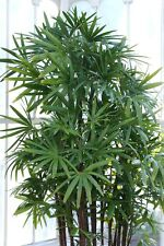10 WINDMILL PALM TREE Shrub Broadleaf Lady Rhapis Excelsa Seeds Houseplant +Gift