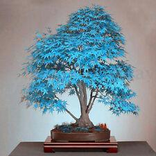 20PCS Blue Japanese Maple Acer Palmatum Atropurpureum Plant Tree Seeds Bonsai