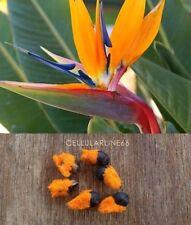 Strelizia sterlizia reginae Seed uccello paradise semi crane lily flower Fiore5