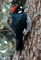 Whimsy Wood Puzzle- Woodpecker-500 pcs