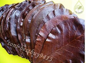 BEST Indian Almond Leaf Catappa Ketapang Leaves 20pc Shrimp Betta Discus Cichlid