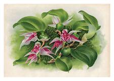 Bulbophyllum Carinatum by Jean Linden Orchids A4 Art Print