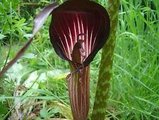 Cobra Lily - ARISAEMA SPECIOSUM - 7 Seeds - Flowers