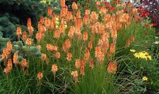 Kniphofia Seeds - CREAMSICLE - Drought Tolerant Perennial Plant - 10 Seeds