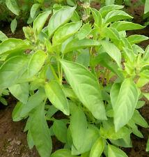 Albahaca  aroma  LIMA 200 ( basil lime ) semillas seeds