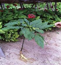 New Arrival Home Garden Plant 100PCS Ginseng Panax Seeds