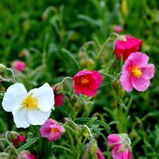 100 Graines de Helianthemum Mélange / Jaune Rose Rouge et Orange