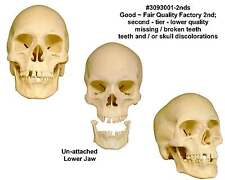Human Skull Replica - 3093001-2nds Economy-Factory 2nd Tier - Good Quality: USA