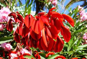 GUT exotisches Saatgut Zimmerpflanze immergrüne Zierbaum KORALLENSTRAUCH