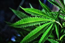Hanfshop. info facebook.com/hanfshop + + twitter.com/hanfshop cannabis marihuana