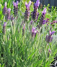 Lavender Avonview in 75mm supergro tube perennial plant