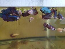 (1)  Betta Fish Live Assorted Female Betta Fish