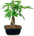 6+ y.o. Money Tree Bonsai with Ceramic Pot Live Plant Good Luck Tree Feng Shui
