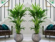 5PCS Kentia Palm Chinese Palm Tree Seeds Green Rare  Perennial Evergreen Plants