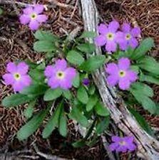 Primrose Fairy Lavender-  (Primula Malacoides) - 50 seeds