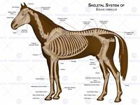 ANIMALS SKELETON BONES HORSE ANATOMY 12 X 16 INCH ART PRINT POSTER HP2115
