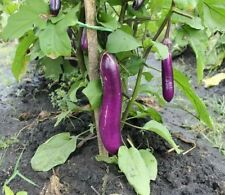 open pollinated seeds : long eggplant
