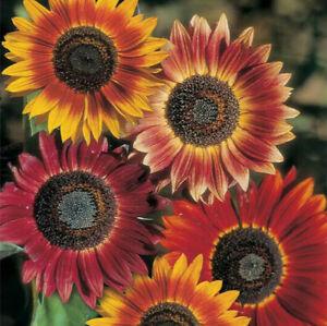 Evening Sun Sunflower Seeds | Bicolor Multicolor Flowers Sun Flower Seed 2021
